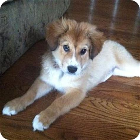 australian shepherd pomeranian mix for adoption adopt a australian shepherd find dogs for adoption breeds picture