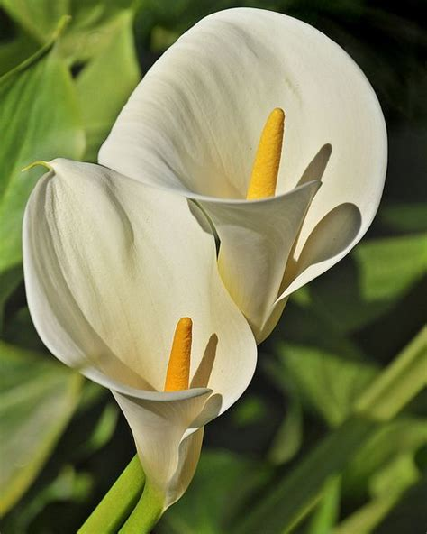 calla lilies lilies and zantedeschia on pinterest
