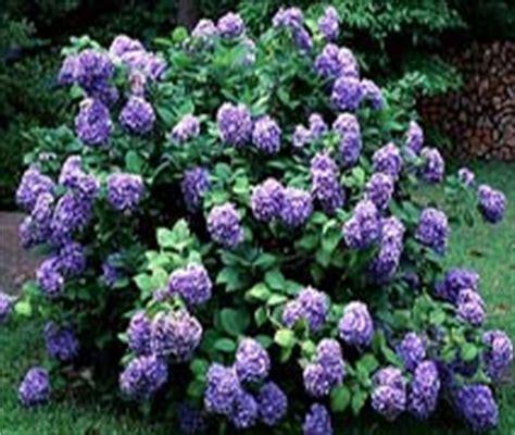 medium sized flowering shrubs flowering shrubs