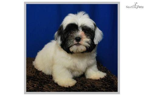 shih tzu puppies for sale in mcallen tx shih poo shihpoo puppy for sale near mcallen edinburg 24d1ba67 3521