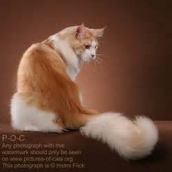 how to select a proper maine coon cat poc