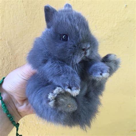 alimentazione coniglio nano ariete nani colorati la stalla dei conigli allevamento e