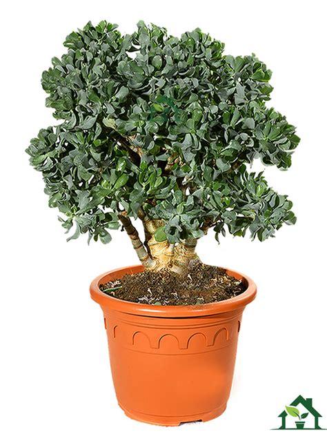 Zimmerpflanzen Versand Bestellen 74 by Dickblatt Crassula Arborescens Zimmerpflanzen Ch