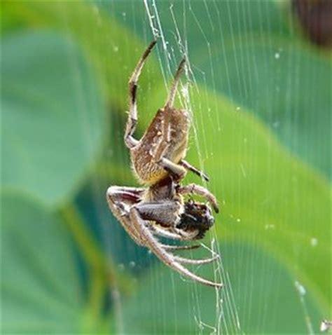 Garden Spider Big Large Garden Spider Free Stock Photos Rgbstock Free