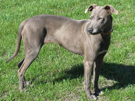 blue lacy blue lacy dogs breeds pets
