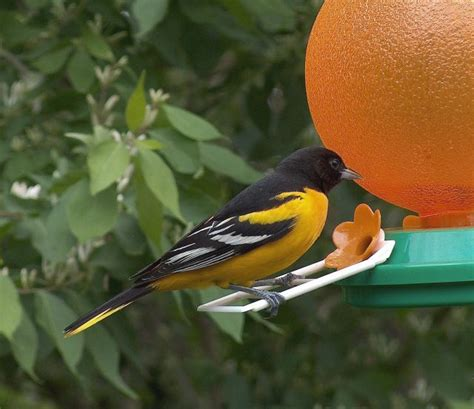 male northern oriole image only