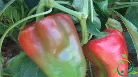 coltivare peperoni in vaso come coltivare il peperone in vaso tecnica ed accorgimenti