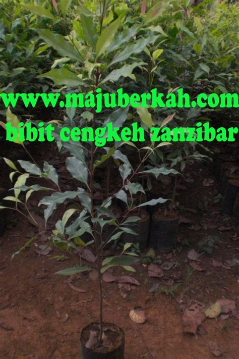 Jual Bibit Cengkeh Zanzibar Bandung bibit cengkeh zanzibar bibit tanaman cengkeh zanzibar jual
