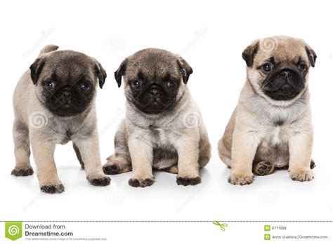 free pugs pug puppies for free 31 hd wallpaper dogbreedswallpapers