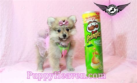 pomeranian for sale in las vegas pomeranian puppy for sale in las vegas breeds picture