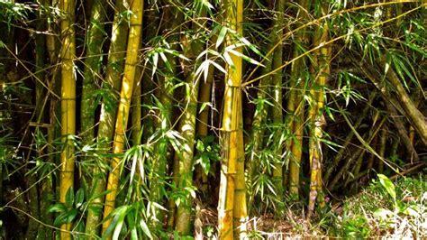 jenis jenis bambu hias beserta penjelasan  gambarnya