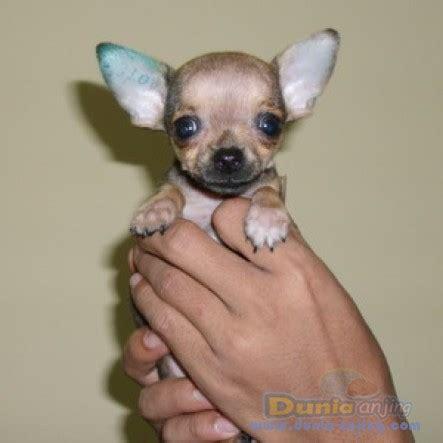 Mini 2 Bulan dunia anjing jual anjing chihuahua dijual chihuahua mini size umur 2 bulan