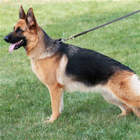 most protective breeds best family protection dogs breeds breeds picture