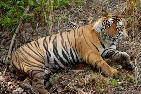 what are the different types of tigers living classification panthera tigris