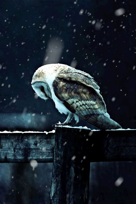 snowflakes falling upon the huddled form of an owl