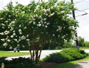 Curb Appeal Plants - natchez white crape myrtle tree for sale the planting tree