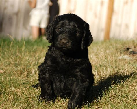 doodle puppies for sale in oregon goldendoodle just because breeds picture