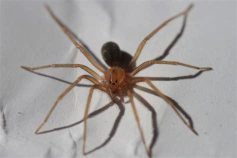 madre de alacran es venenosa recluse spider wikipedia