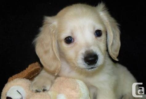 free miniature dachshund puppies miniature dachshund puppies for sale in burnaby columbia classifieds