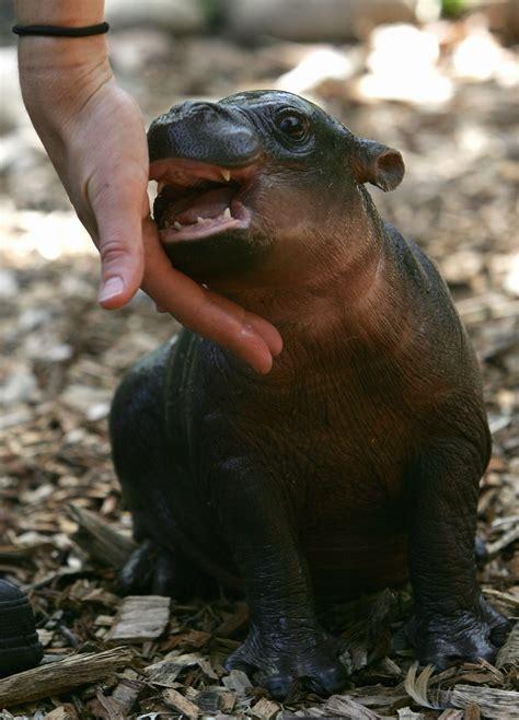 baby pygmy hippo meet monifa an adoro one month pygmy hippopotamus