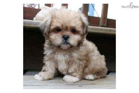 shih poo puppies for sale in nc shih poo shihpoo for sale for 500 near jacksonville carolina 1b0cd97e 96a1