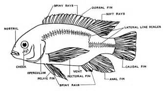 Label Diagram Of A Tilapia Fish Sketch Coloring Page sketch template