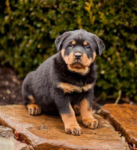 rottweiler puppies for sale kansas city akc registered rottweiler pups craigspets