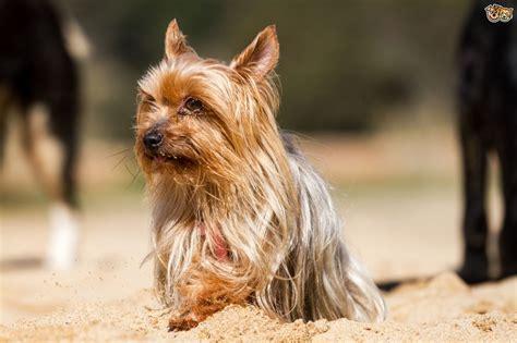 yorkie health yorkie terrier breeds picture