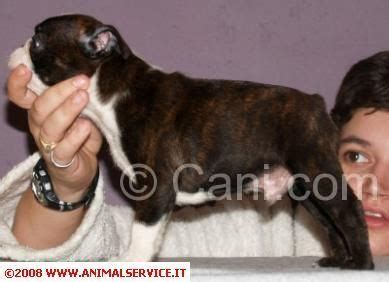 alimentazione boston terrier boston terrier 194234