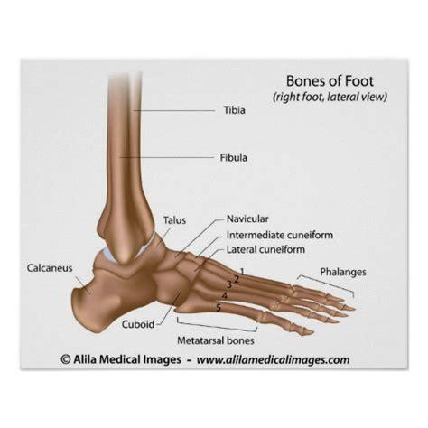 labelled diagram of foot bones of foot labelled diagram zazzle