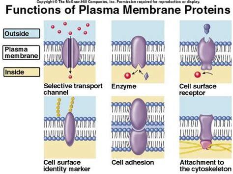 plasma membrane proteins  act  receptors