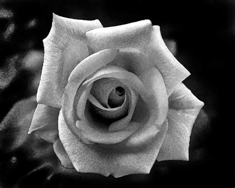 black and grey rose and black and grey search flowers
