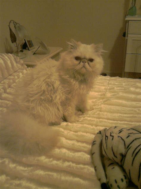 accoppiamento gatti persiani accoppiamento gatto persiano bellissimo petpassion