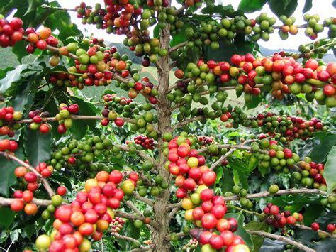 pohon kopi file fruitcolors jpg wikimedia commons