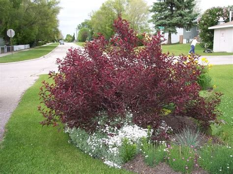 purpleleaf sand cherry strom do rohu pinterest cherries sands and shrubs