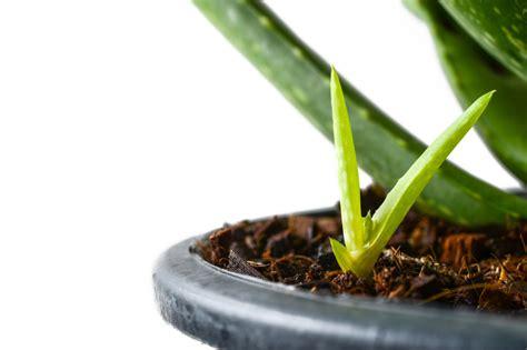 Ableger Aloe Vera aloe vera vermehren 187 so klappt s