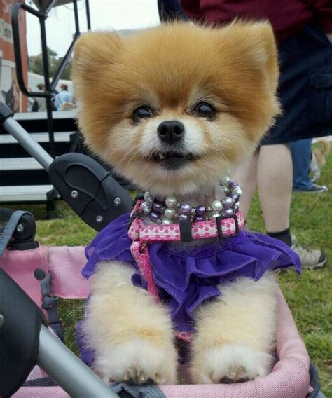 pomeranian adoption california best 25 pomeranian rescue ideas on baby pomeranian pomeranian and