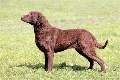 Chesapeake Bay Retriever Shed by Chesapeake Bay Retriever Breed 187 Everything About