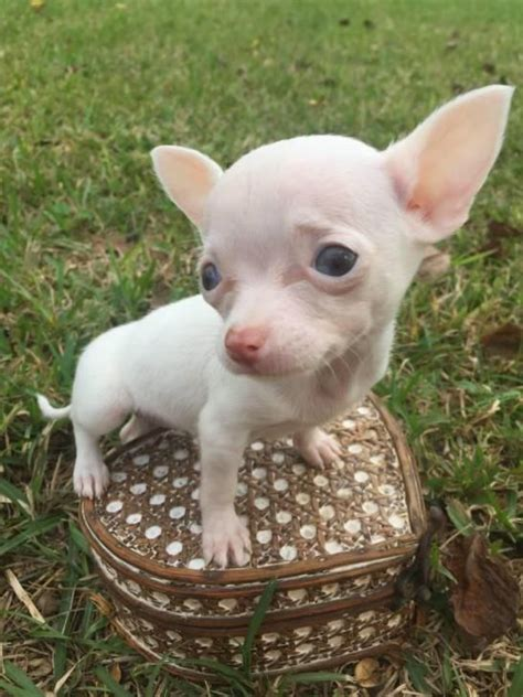 chihuahua puppies houston teacup applehead chihuahua puppies for sale houston puppies for sale chihuahua