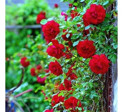 buy climbing rose red seeds pack   seeds