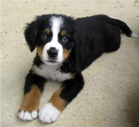 bernese mountain breeders pa hylens berners bernese mountain breeder coatesville pennsylvania