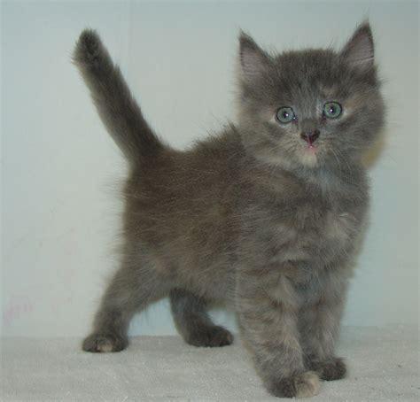 critter room live stream 100 british shorthair cat olx pi苹kne szkockie koci苹