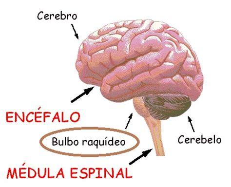 partes del bulbo raquideo sistema nervioso thinglink