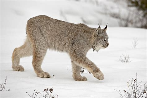 canadian snow lynx a collection of beautiful stock photos of lynxes from
