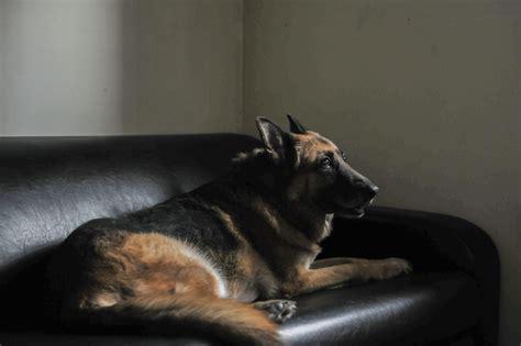 dog couch alarm photos