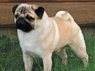 are pugs hypoallergenic pug breed info breeders and puppies for sale pawbase australia