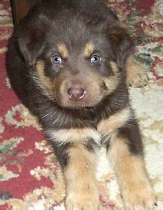 alaskan husky rottweiler mix sale put a smile on that on 53 pins