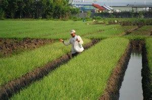Bibit Bawang Merah Sayur 6 tahapan penting cara menanam bawang merah
