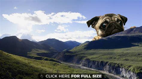 pug screen screensaver pug wallpaper