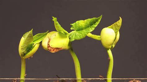 Benih Kacang Panjang Berkualitas cara menanam budidaya kacang panjang dipot polibag